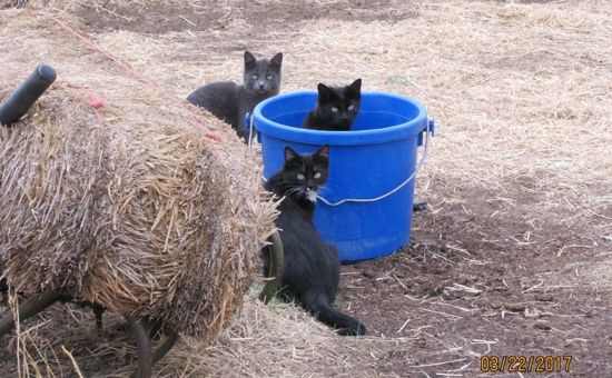 From Left to Right: Taz, Tar Baby in the bucket, and Bootsy. Porky was off somewhere eating!